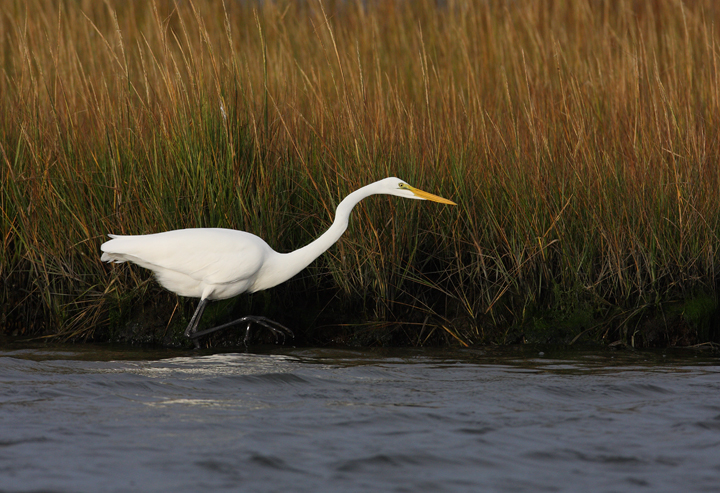 A Great Egret hunts in the shallows on Assateague Island, Maryland (10/12/2009).