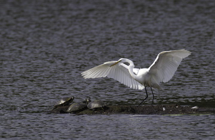 A Great Egret lands among turtles at Fort Smallwood, Maryland (5/22/2011). Photo by Bill Hubick.