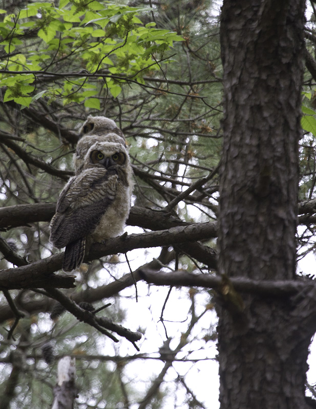 Two recently fledged Great Horned Owls on Assateague Island, Maryland (5/14/2011). Photo by Bill Hubick.