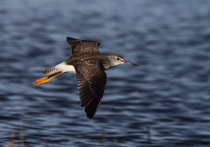 A Greater Yellowlegs in flight in coastal Worcester Co., Maryland (11/14/2010). Photo by Bill Hubick.
