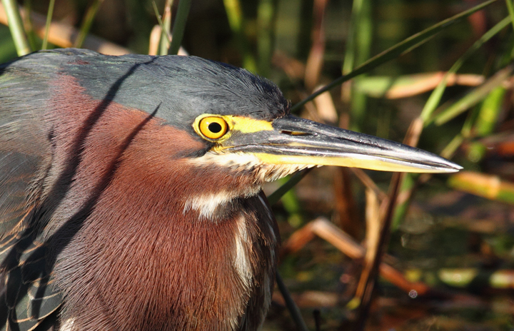 A Green Heron slowly stalks prey near the Anhinga Trail in the Everglades (2/26/2010). Photo by Bill Hubick.