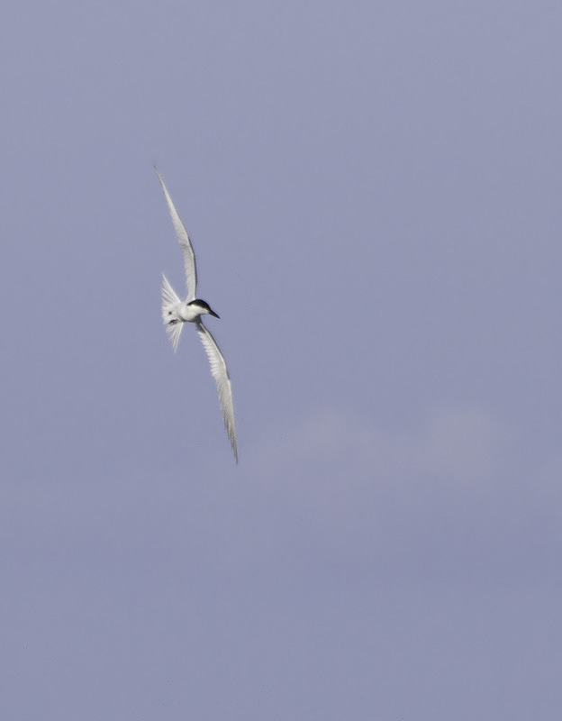 A Gull-billed Tern near Cape Point, North Carolina (5/28/2011). Photo by Bill Hubick.