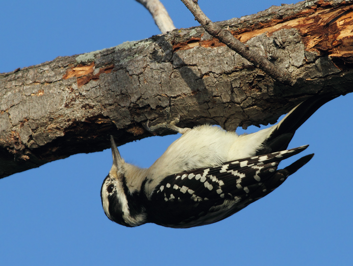 A female Hairy Woodpecker forages at Fort Smallwood, Maryland (10/15/2010). Photo by Bill Hubick.
