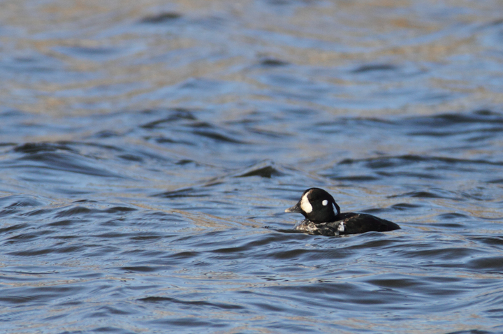 An immature male Harlequin Duck at Fort Armistead Park, visiting both Baltimore and Anne Arundel Counties, Maryland (1/9/2011). A great find by Keith Costley. Photo by Bill Hubick.