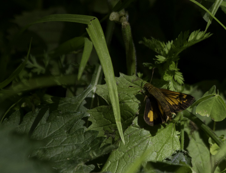 A Hobomok's Skipper near the Youghiogheny River, Maryland (5/22/2011). Photo by Bill Hubick.
