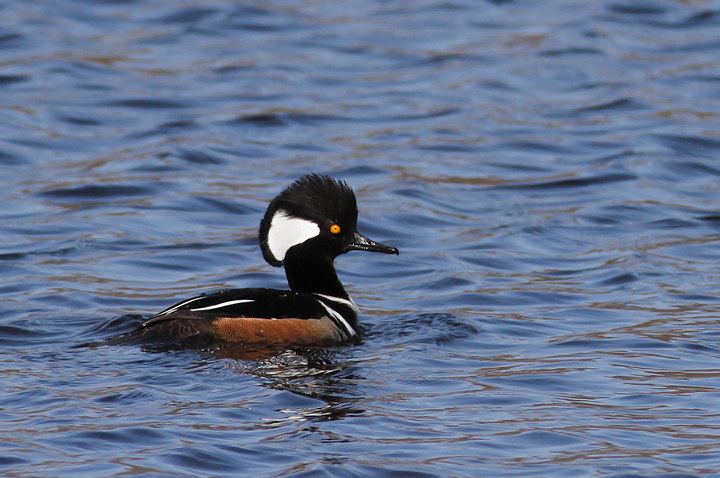 A drake Hooded Merganser in Worcester Co., Maryland (2/21/2010). Photo by Bill Hubick.