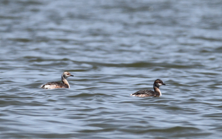 Molting Horned Grebes at Middle Hooper Island, Maryland (3/27/2010). Photo by Bill Hubick.