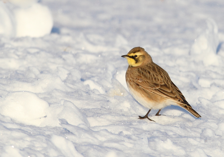 Horned Larks in Caroline Co., Maryland (12/24/2009).