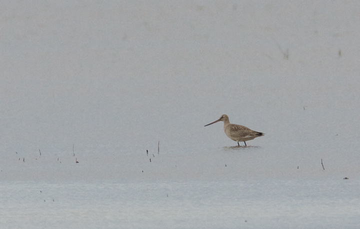 One of two Hudsonian Godwits that spent late October at Blackwater NWR, Maryland (10/24/2009).