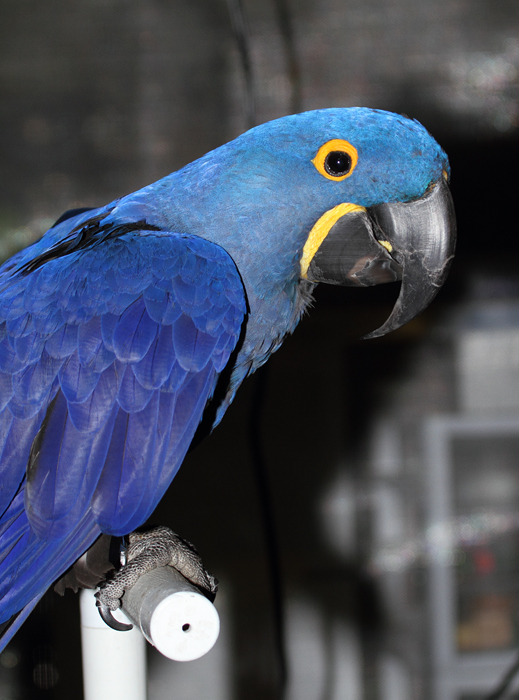 Hyacinth Macaw - Rehabilitation at the National Aquarium (12/31/2009). Photo by Bill Hubick.