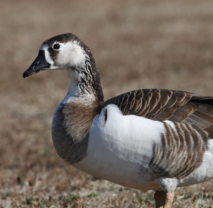 Two hybrid geese photographed in St. Mary's Co., Maryland (1/3/2010). Photo by Bill Hubick.