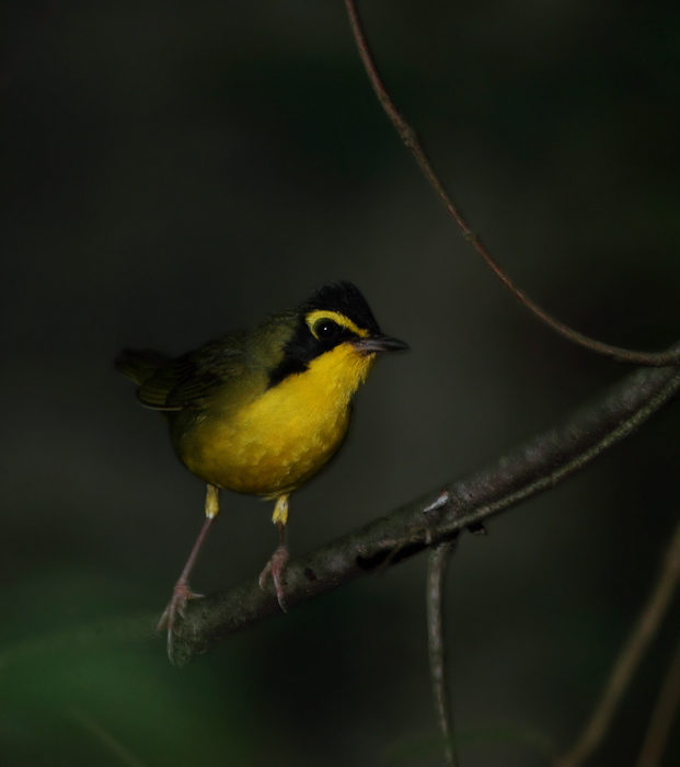 A Kentucky Warbler in Montgomery Co., Maryland (6/12/2010). Photo by Bill Hubick.