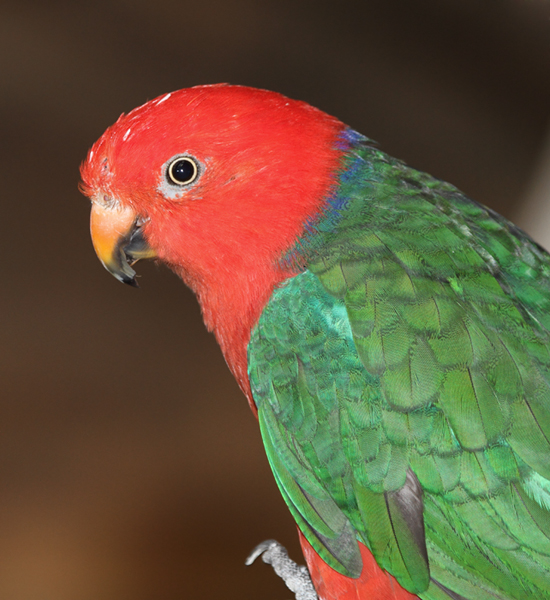 King Parrot - Australia exhibit at the National Aquarium (12/31/2009.) Photo by Bill Hubick.