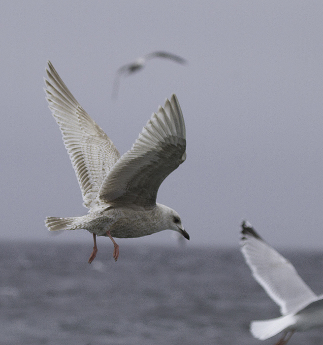 A first-cycle Kumlien's Gull also followed the boat for many miles (Maryland, 2/5/2011). Photo by Bill Hubick.