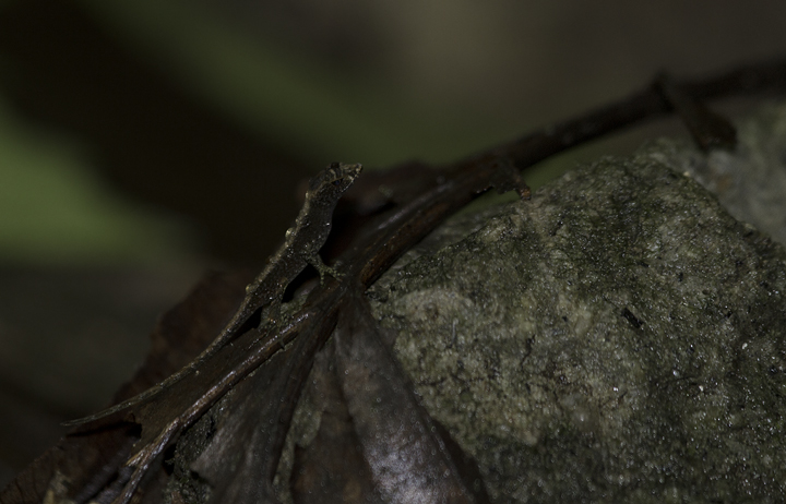 An interesting lizard species in the rainforest leaf litter in Panama (7/13/2010). Photo by Bill Hubick.