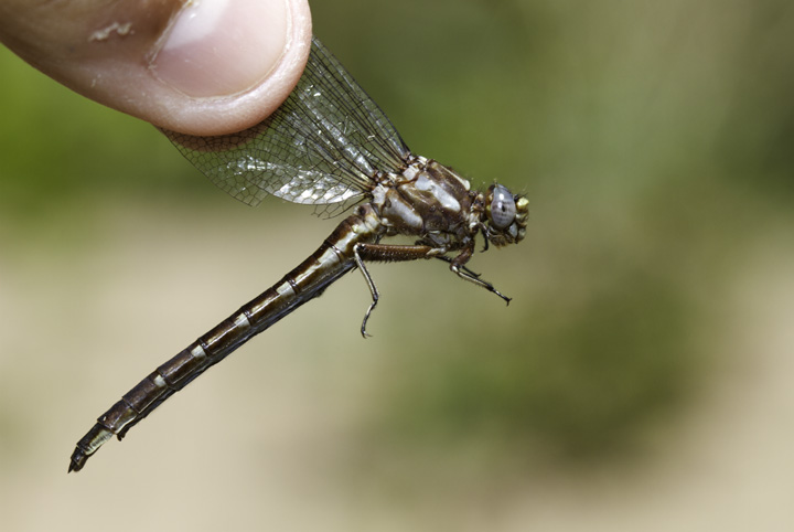 A Lancet Clubtail in Allegany Co., Maryland (6/4/2011). Photo by Bill Hubick.