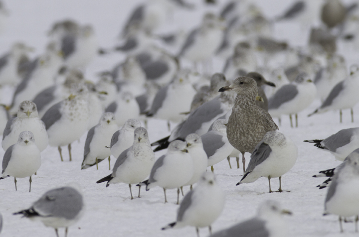 For fun, I'll point out that this bird recalls Glaucous Gull for me. How often are these impressions due to hybridization/backcrosses in a bird's past? I can't help but think that such distant backcrosses should be fairly common. Photo by Bill Hubick.