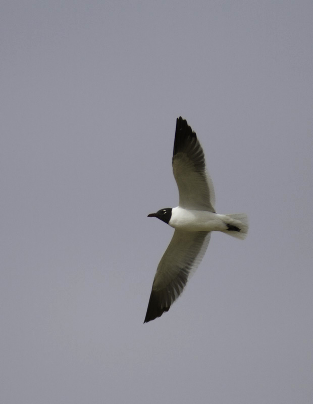 An adult Laughing Gull in flight in Salisbury, Maryland (4/10/2011). Photo by Bill Hubick.
