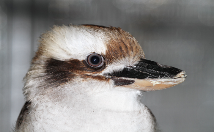Laughing Kookaburra - Rehabilitation at the National Aquarium (12/31/2009). Photo by Bill Hubick.