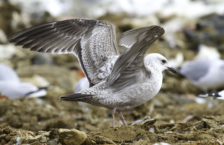 An interesting first-cycle gull at the Charles Co. Landfill, Maryland (1/29/2011). It is most likely just an unusual Herring Gull, but some features had us originally considering Lesser Black-backed x Herring hybrid. Photo by Bill Hubick.