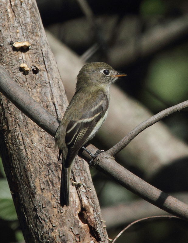 A Least Flycatcher in Anne Arundel Co., Maryland (9/15/2010). Photo by Bill Hubick.