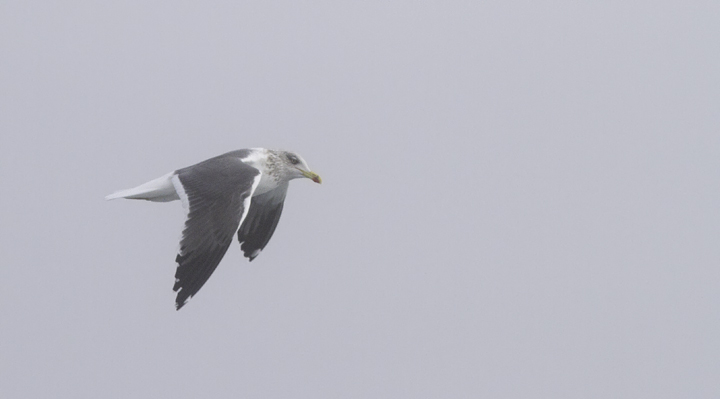 One of many Lesser Black-backed Gull that followed us off Maryland (2/5/2011). Photo by Bill Hubick.