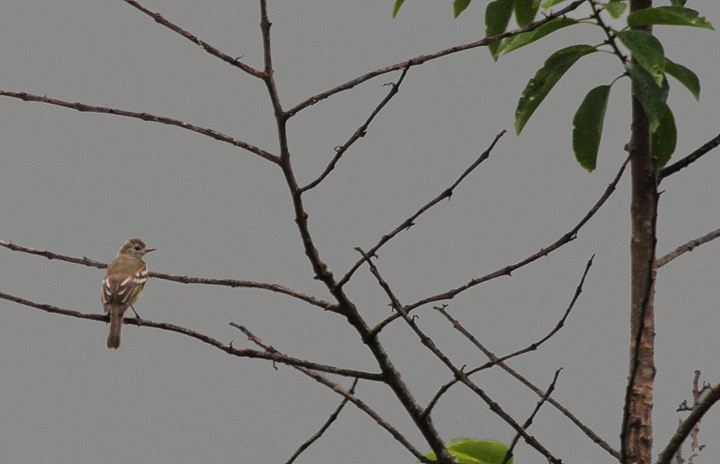 A Lesser Elaenia spotted in the rain near El Valle Panama (7/11/2010). Photo by Bill Hubick.