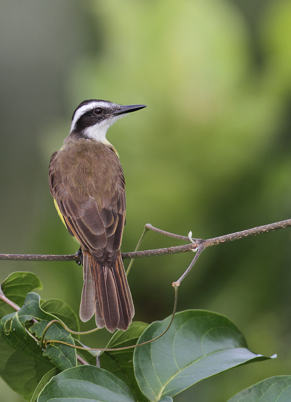 A Lesser Kiskadee poses in the morning light (Panama, July 2010). Photo by Bill Hubick.