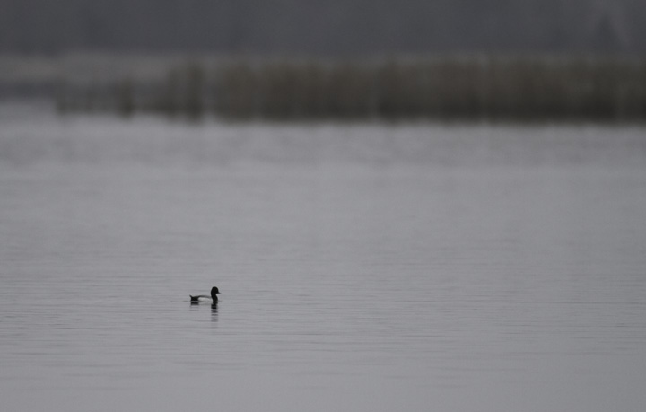A drake Lesser Scaup slowly floats past Choptank, Caroline Co., Maryland (4/10/2011). Photo by Bill Hubick.