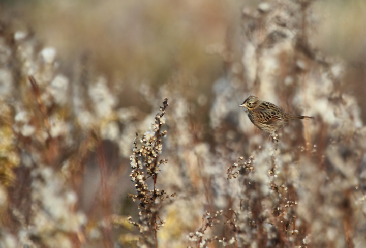 A migrant Lincoln's Sparrow forages in the goldenrod at Fort Smallwood, Maryland (10/31/2010). Photo by Bill Hubick.