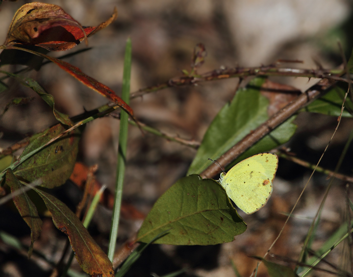 A Little Yellow on Assateague Island, Worcester Co., Maryland (10/10/10). Photo by Bill Hubick.