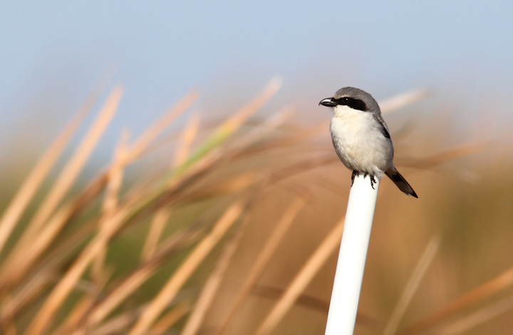 A Loggerhead Shrike hunts along a roadside in the Everglades. My friend Adam Kent watched one impale a Blue-headed Vireo before our trip south. Photo by Bill Hubick.