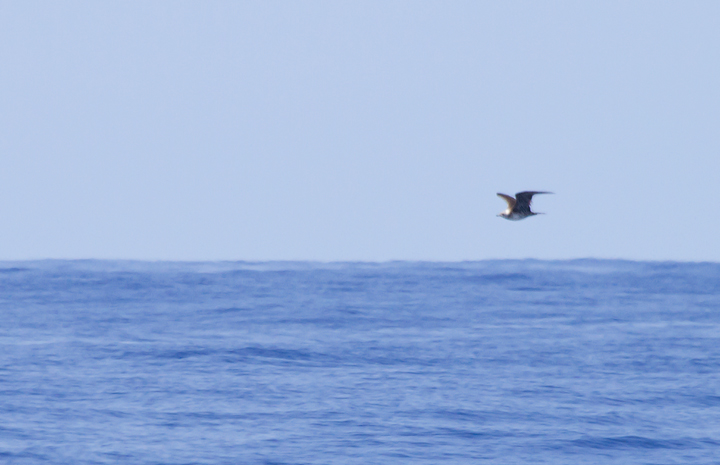 A distant Long-tailed Jaeger off Cape Hatteras, North Carolina (5/27/2011). Photo by Bill Hubick.