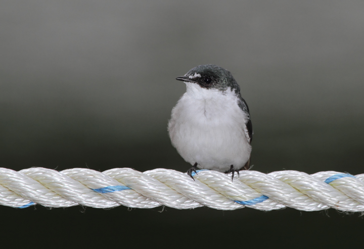 A Mangrove Swallow resting along the Rio Chagres, Panama (July 2010). Photo by Bill Hubick.