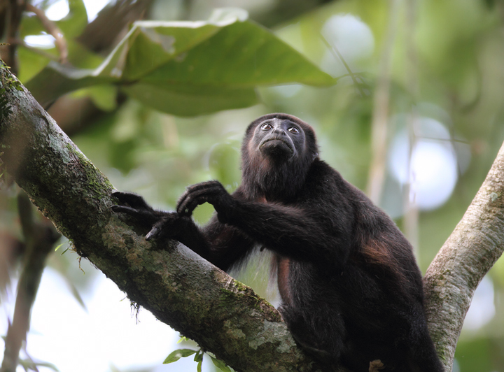 A Mantled Howler Monkey in the canopy, Semaphore Hill Road, Panama (July 2010). Photo by Bill Hubick.