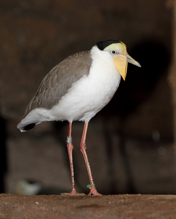 Masked Lapwing - Australia exhibit at the National Aquarium (12/31/2009). Photo by Bill Hubick.