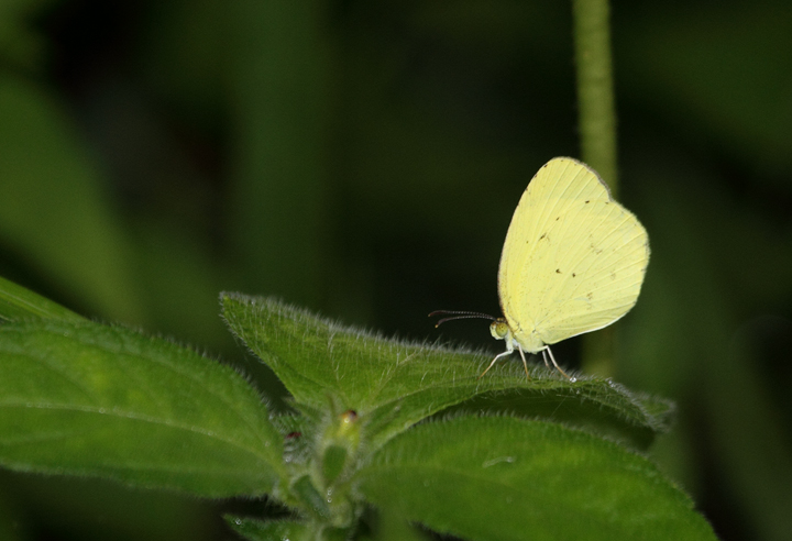 A Mimosa Yellow near El Valle, Panama (7/11/2010). Photo by Bill Hubick.