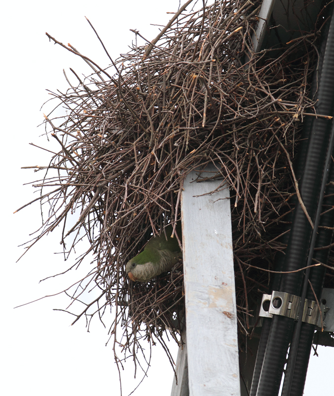 Three Monk Parakeets building a nest in Laurel, Prince George's Co., Maryland (11/3/2010). Photo by Bill Hubick.