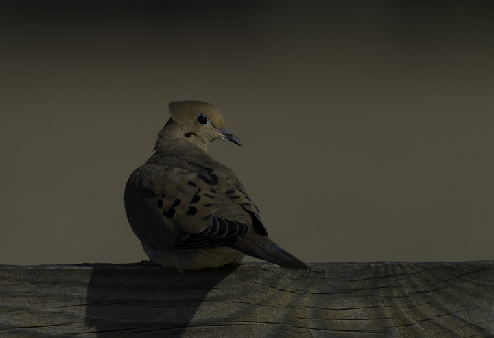 A Mourning Dove poses in soft morning light in Queen Anne's Co., Maryland (2/20/2011). Photo by Bill Hubick.
