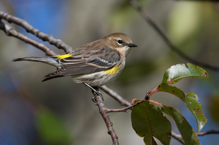 They have returned. A Myrtle Warbler in Somerset Co., Maryland (10/25/2009).