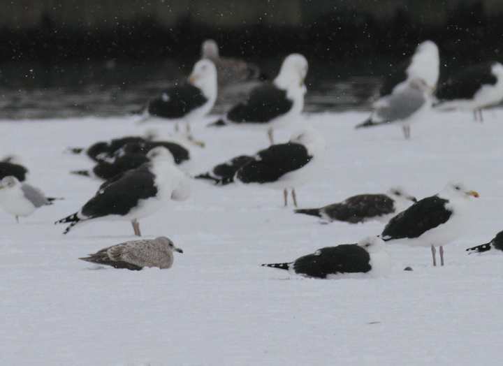 A first-cycle presumed Nelson's Gull (Glaucous x Herring hybrid) in Cecil Co., Maryland (1/9/2011). Some plumage details recall Thayer's Gull, but structural clues and bill pattern point to Nelson's Gull. Photo by Bill Hubick.