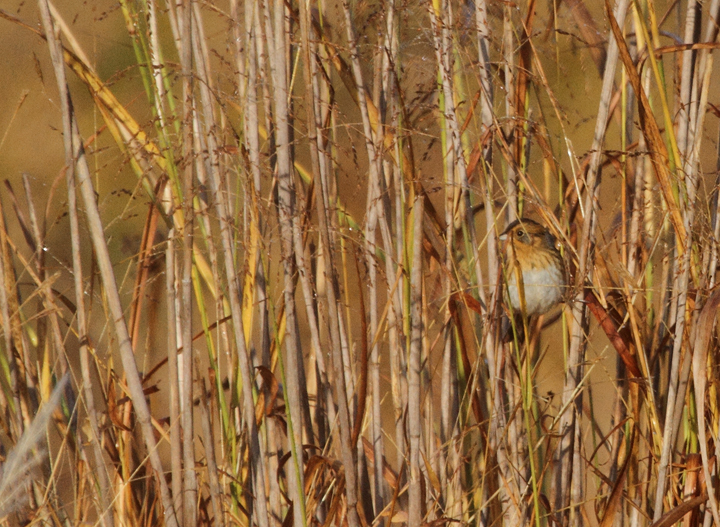 A Nelson's Sparrow offers a typical view in Howard Co., Maryland (10/18/2010). Photo by Bill Hubick.