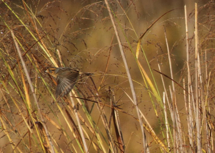 Two shots of a Nelson's Sparrow in flight, about the best we can hope to see during a quick flight view. Photo by Bill Hubick.