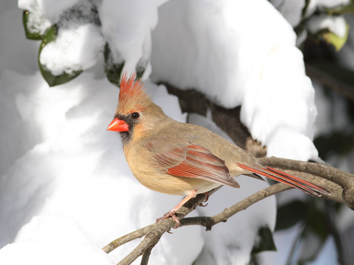 A female Northern Cardinal in our yard in Pasadena, Maryland (2/7/2010). Photo by Bill Hubick.