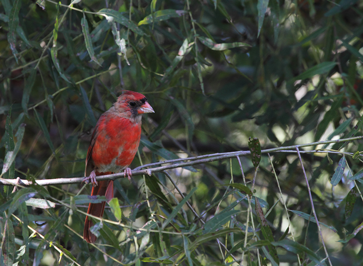 A molting male Northern Cardinal in Anne Arundel Co., Maryland (9/15/2010). Photo by Bill Hubick.