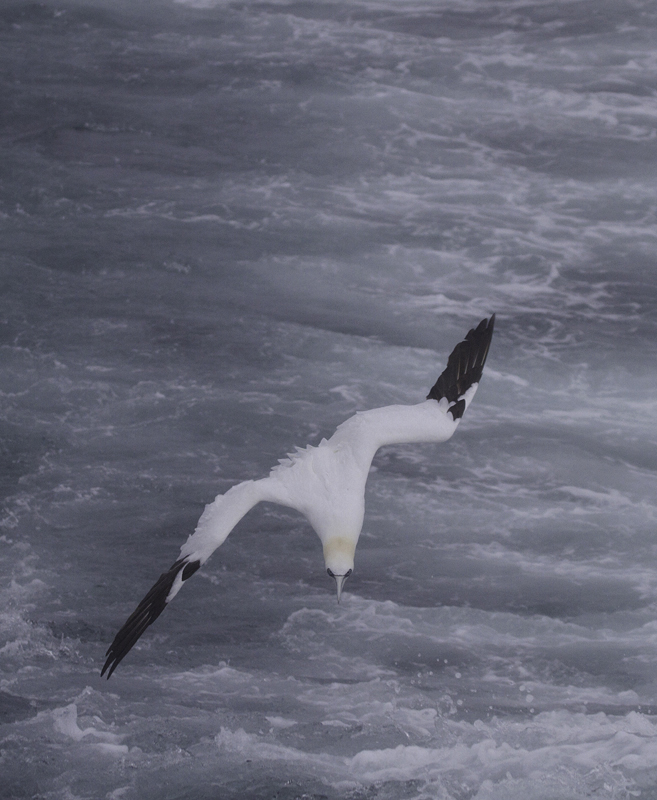 Northern Gannets entertained us with their plunge-dives, occasionally joining the gulls in the wake of the boat (2/5/2011). Photo by Bill Hubick.