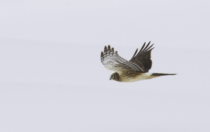 A Northern Harrier in Montgomery Co., Maryland (1/30/2011). Photo by Bill Hubick.