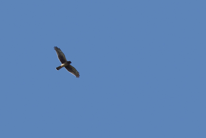 A juvenile Northern Harrier migrating over Point Lookout SP, Maryland (10/2/2010). Photo by Bill Hubick.