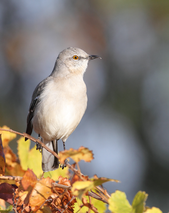 A Northern Mockingbird on Assateague Island, Maryland (11/7/2009). Note the unusual upper mandible shape.
