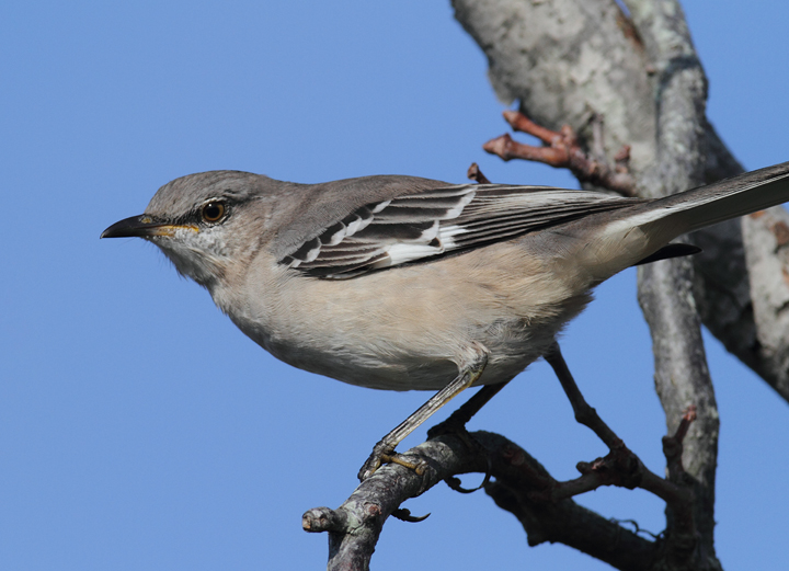 You never find more mockingbirds than when looking for kingbirds or shrikes (Assateague, 10/26/2010). Photo by Bill Hubick.